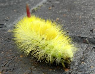 Yellow_Caterpillar3.jpg